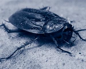 Schaben / Kakerlaken